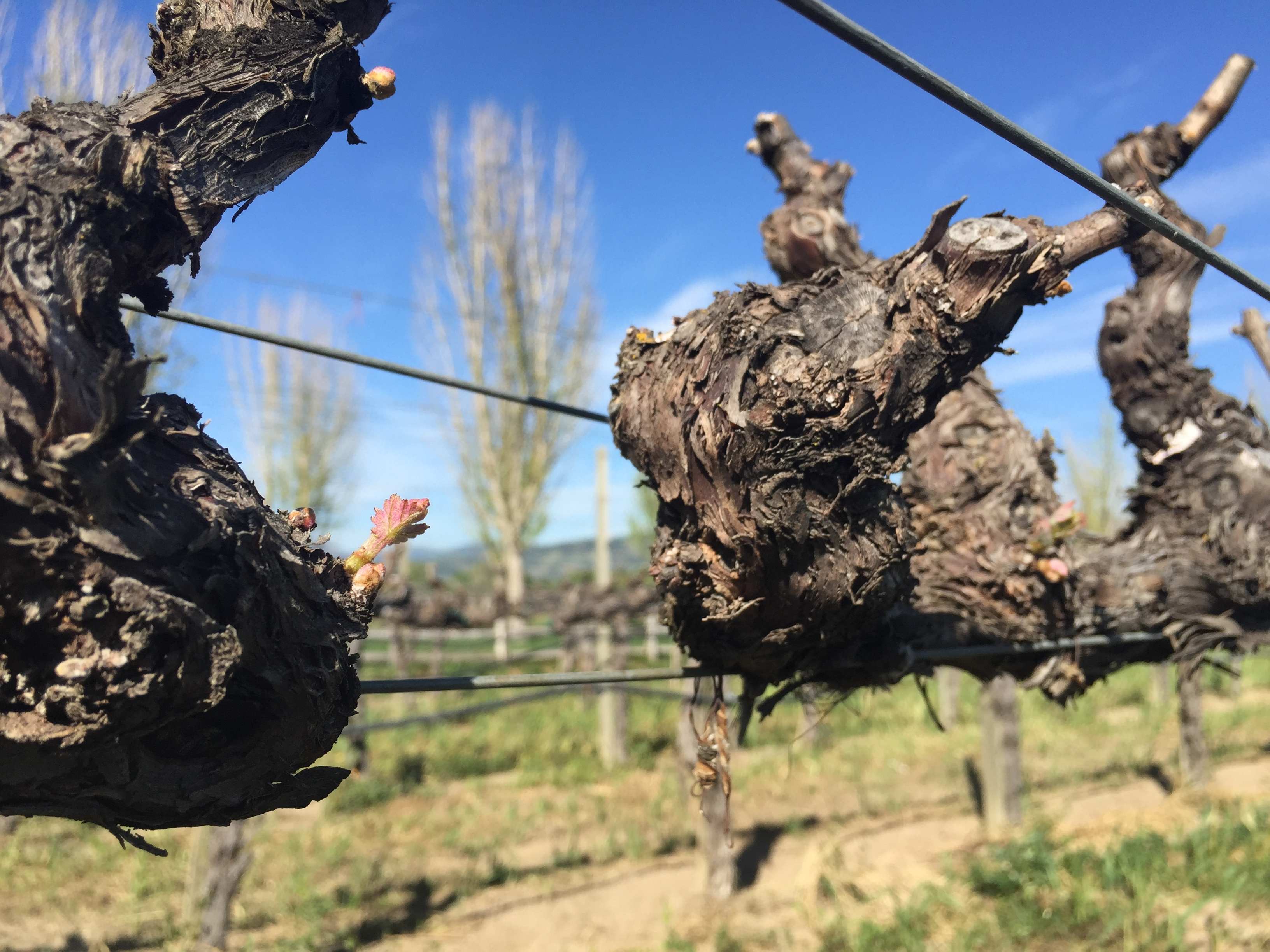 The Start to 2015 Napa Valley Cabernet