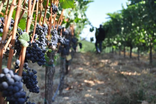 Russian River Wine Harvest, A Winemaker's Note